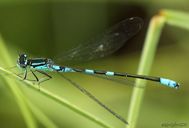 Taiga Bluet Coenagrion resolutum