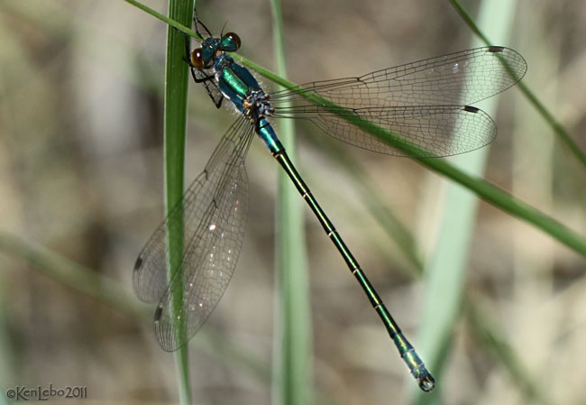 Emerald Spreadwing Lestes dryas