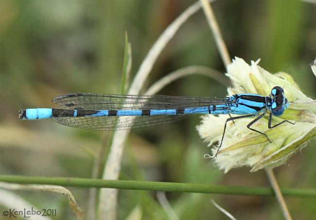 Northern Bluet Enallagma annexum