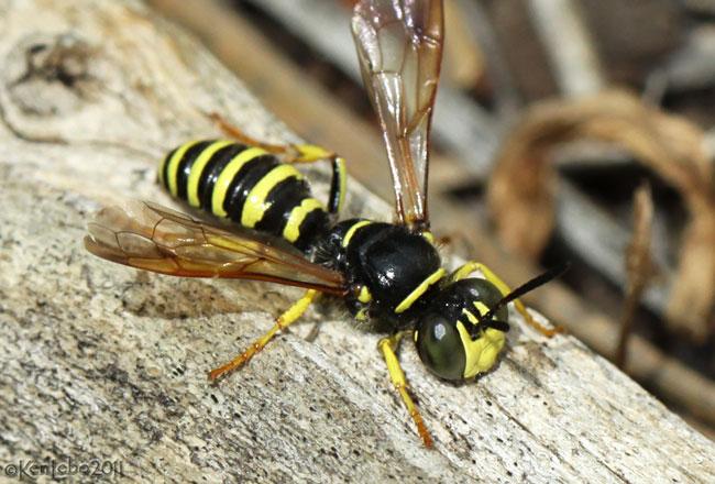Wasp Eucerceris sp.