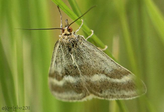 Pussys Toes Pyrausta Moth Pyrausta unifascialis #5068