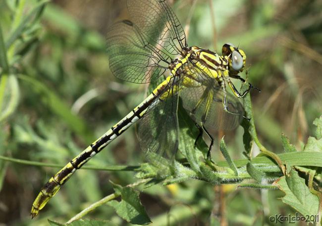 Sulfur-tipped Clubtail Phanogomphus militaris