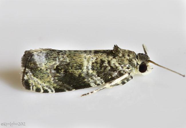 Serviceberry Leafroller Moth Olethreutes appendiceum #2821