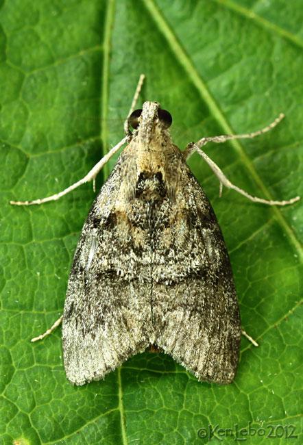 Striped Oak Webworm Moth Pococera expandens #5608