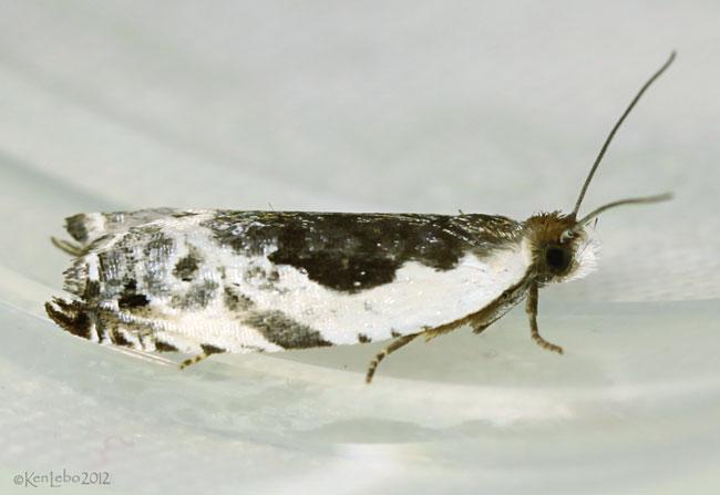 Little Cloud Ancylis Moth Ancylis nubeculana #3354