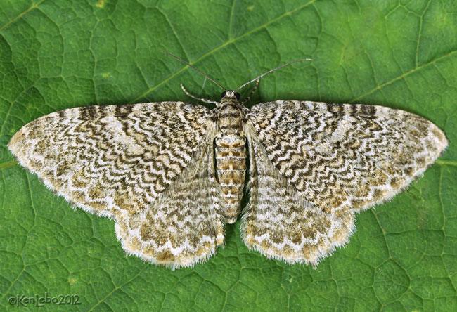 Fergusons Scallop Shell Moth Rheumaptera prunivorata #7292