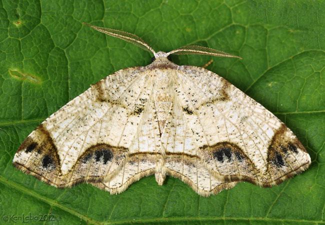 Alien Probole Moth Probole alienaria #6837