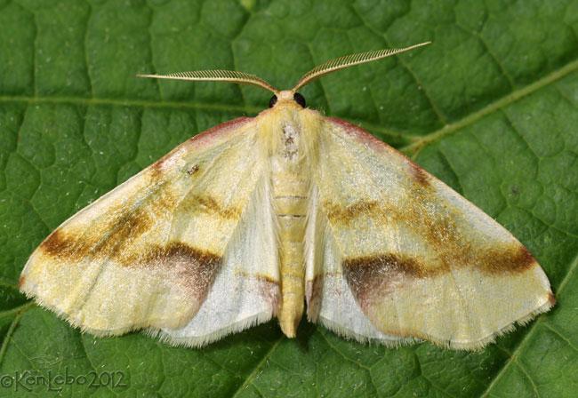 Lemon Plagodis Moth Plagodis serinaria #6840