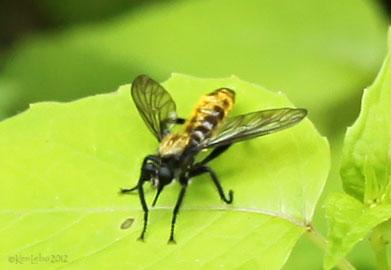 Robber Fly Laphria aktis / sericea