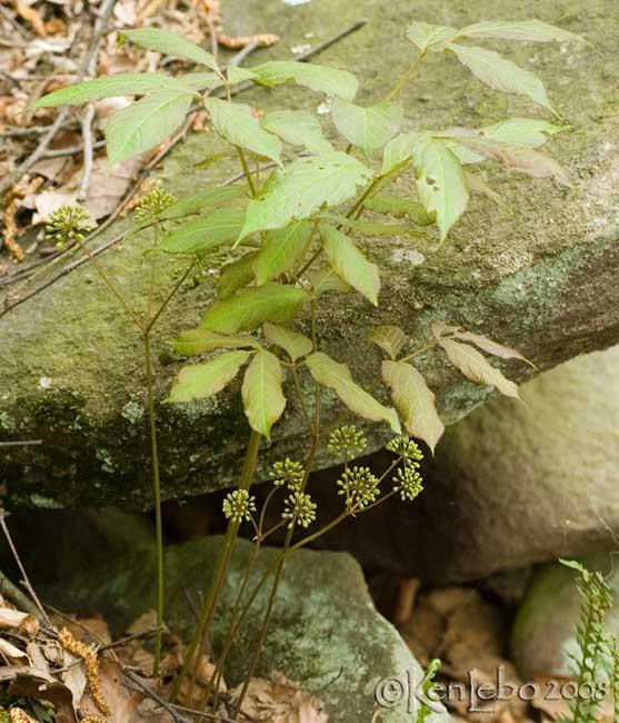 Wild Sarsparilla - Aralia nudicaulis