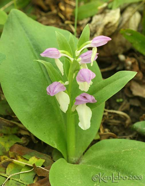 Showy Orchis  Orchis spectabilis