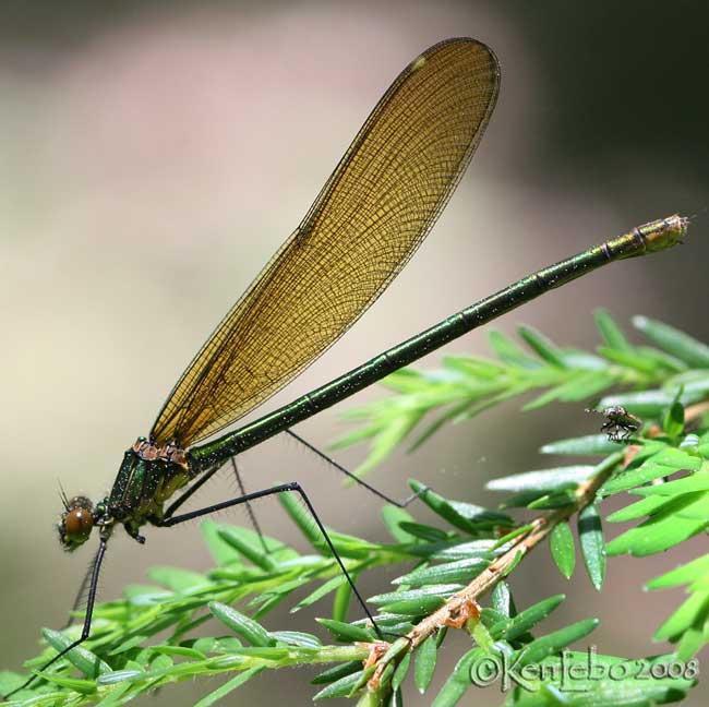 Superb Jewelwing Calopteryx amata  female