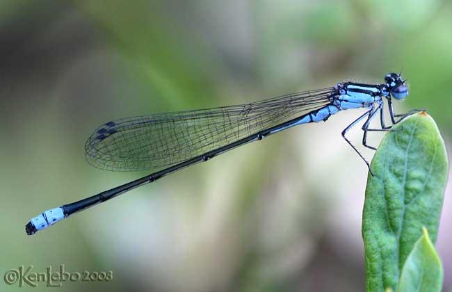Turquoise Bluet Enallagma divagans