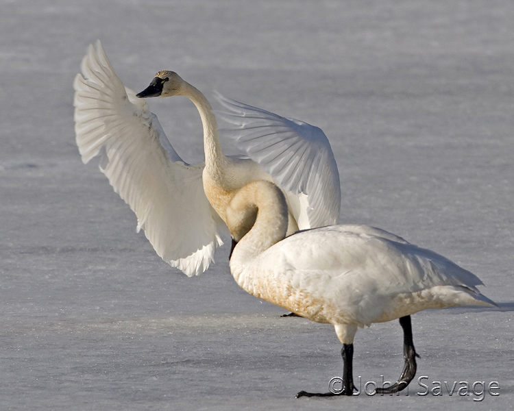 Tundra swans on the ice Bear river