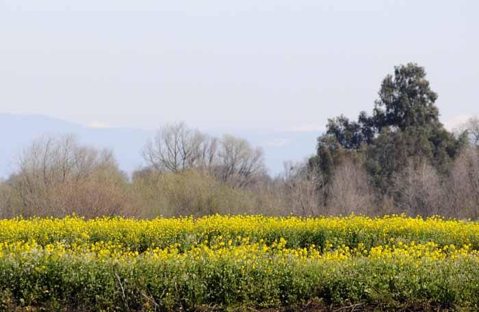 Valley Field of Mustard