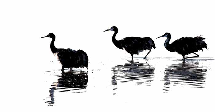 Sandhill Crane Family - Sunset Wade