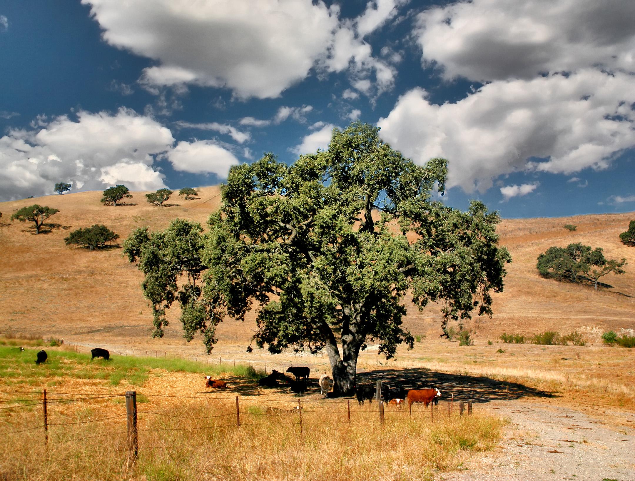 California Oak Zaca Mesa