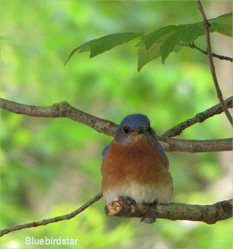 Bluebird Male