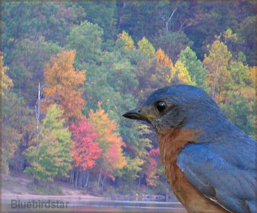 Autumn Comes for the Bluebird