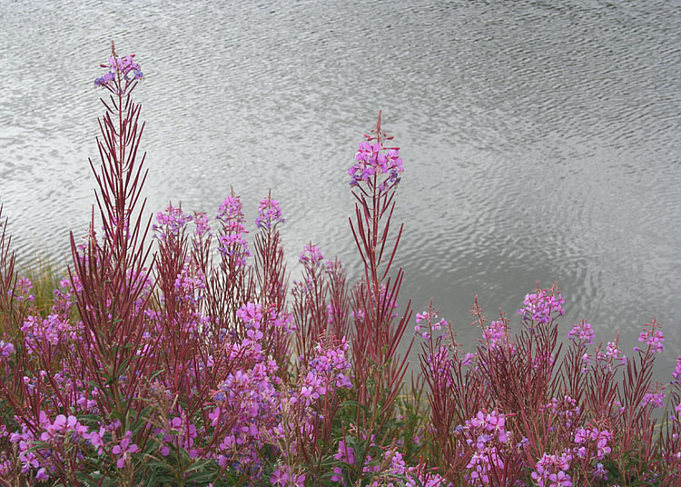 75 fireweed by the water