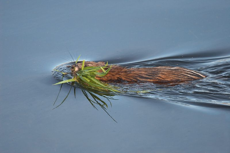 Muskrat swimming with Plants