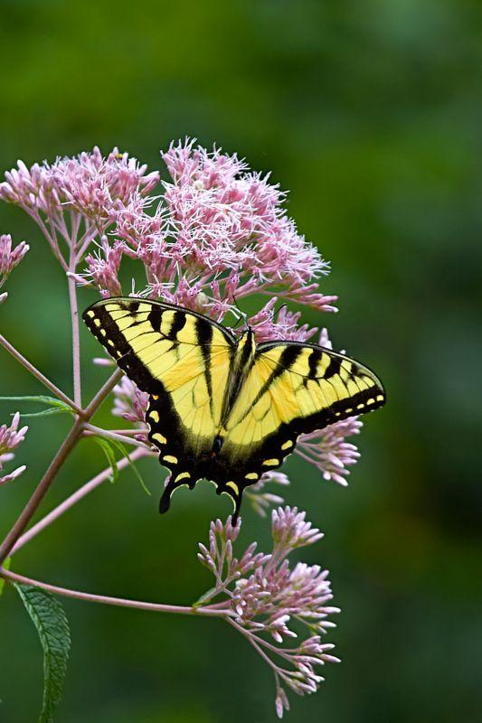 Tiger Swallowtail Butterfly on Joe-Pye Weed