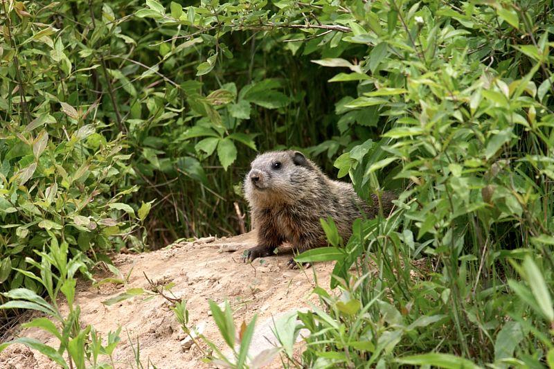 Groundhog Baby