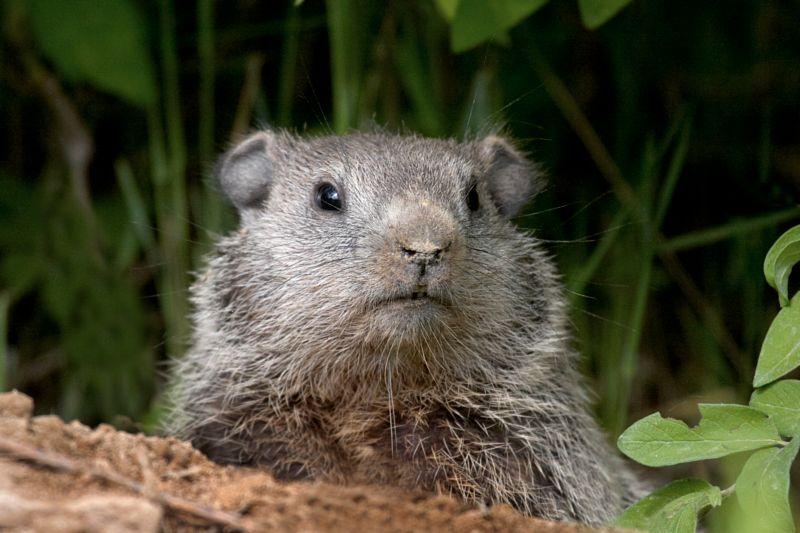 Baby Groundhog at Burrow