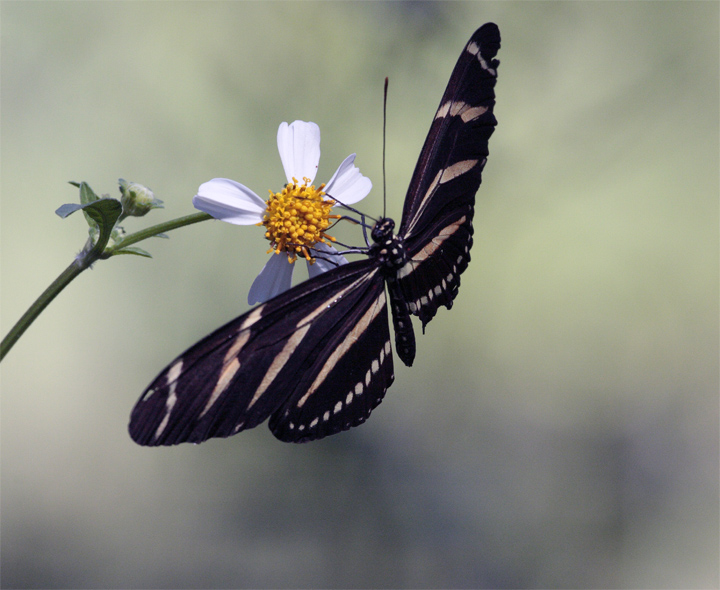 Butterfly on a Daisy at Carter Road Park 4.jpg