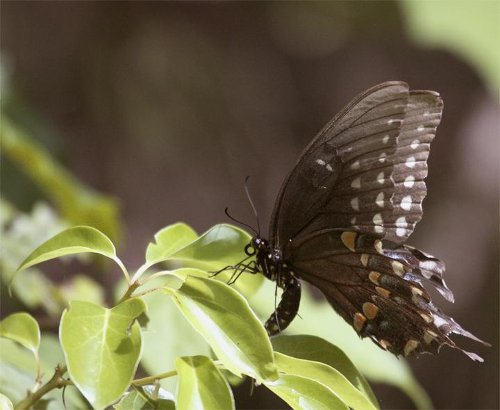 Black Butterfly on Leaf at Carter Rd Park.jpg