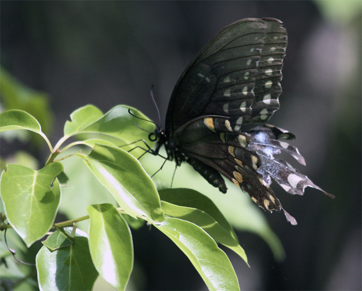 Black Butterfly on Leaf at Carter Rd Park 2.jpg