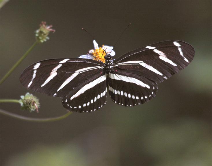 Striped Butterfly on Flower at Carter Rd Park.jpg