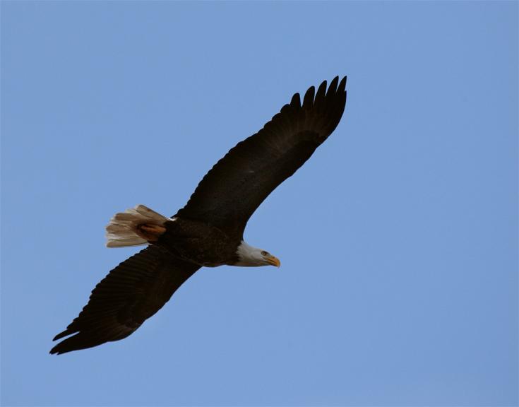 Bald Eagle Flying from bottom 2.jpg