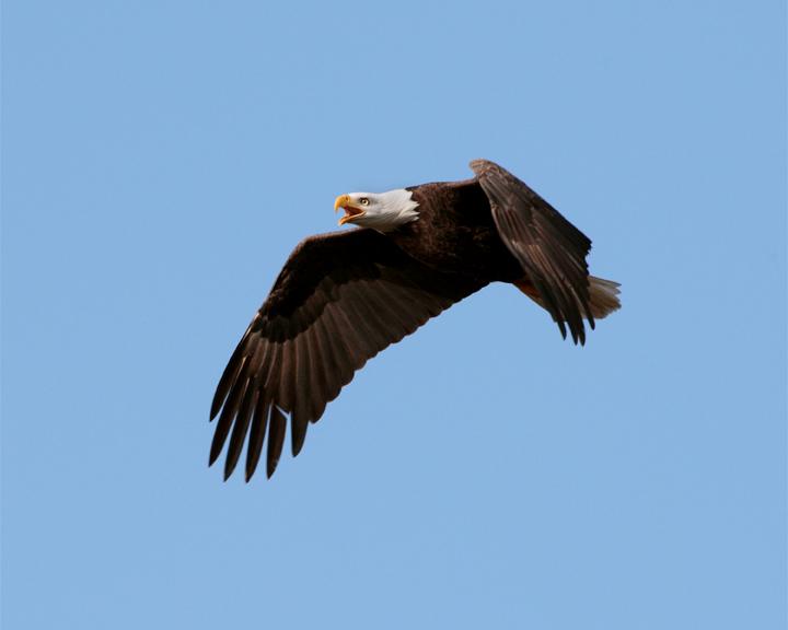 Eagle Flying Calling.jpg