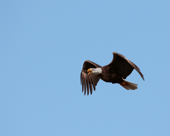 Bald Eagle Flapping and calling.jpg
