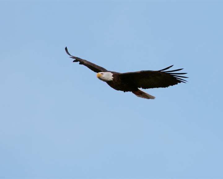Bald Eagle Flying 2.jpg