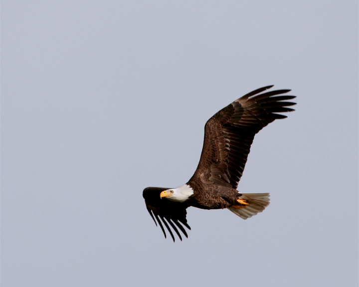 Eagle Flying 2.jpg