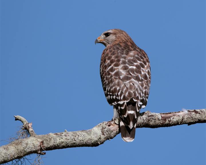 Red Shoulder Hawk on branch closeup.jpg
