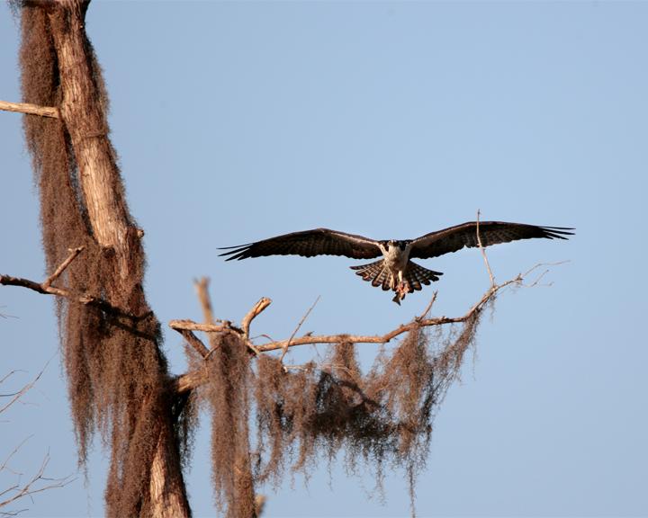 Osprey Flying to the Tree.jpg