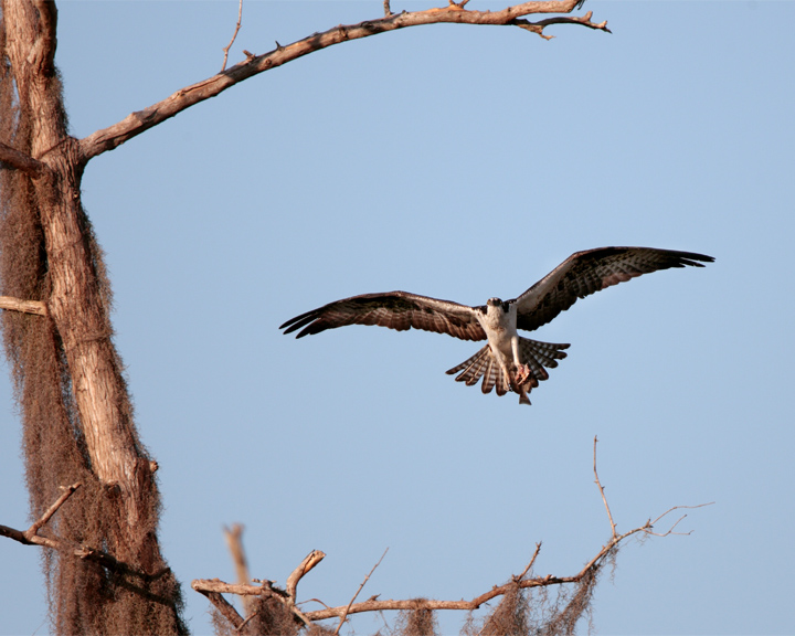 Osprey Bringing Home the Fish.jpg