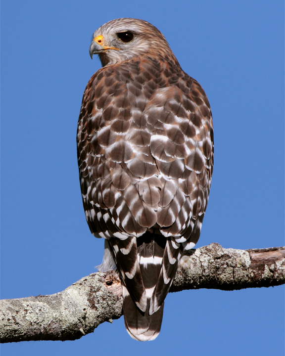 Red Shoulder Hawk on branch vertical.jpg