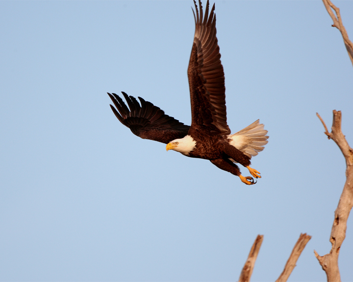 Bald Eagle on Dead Tree Taking Off 3.jpg