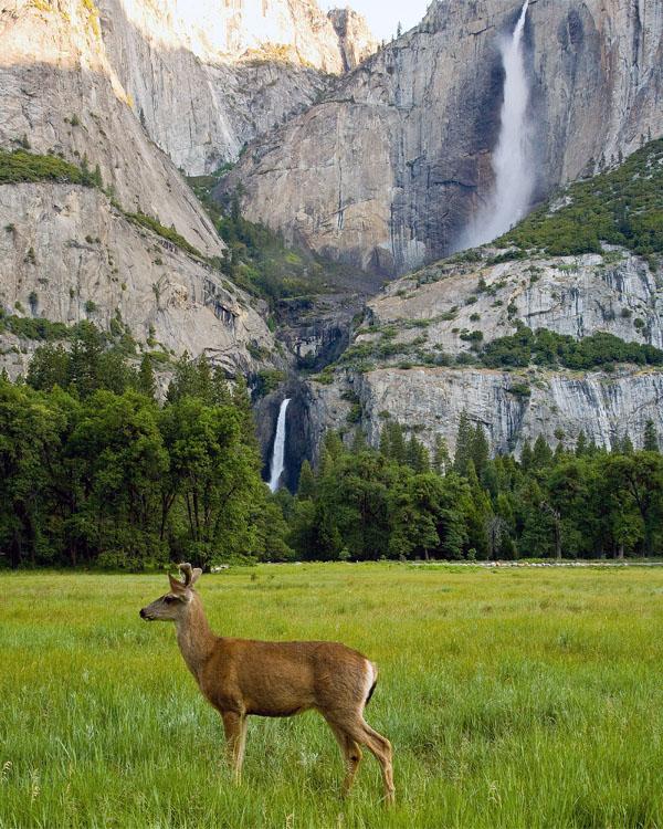 Deer Under Yosemite Falls.jpg