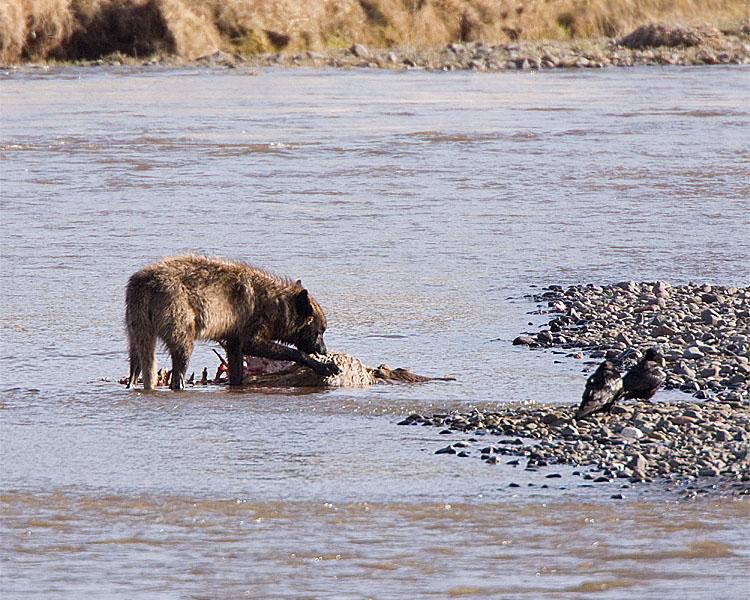 Wolf on a Carcass at Lamar.jpg