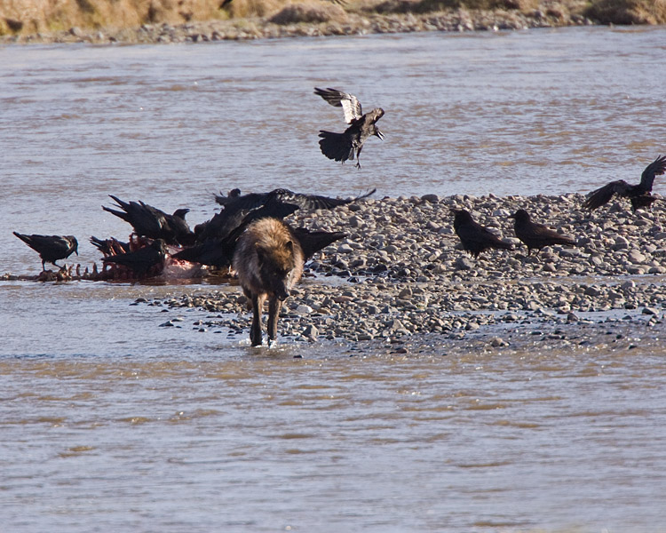 Lamar Wolf Leaving the Carcass to the Ravens 2.jpg