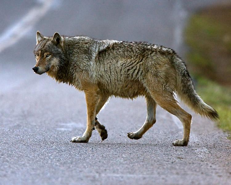 Wolf Crossing at Nymph Lake.jpg
