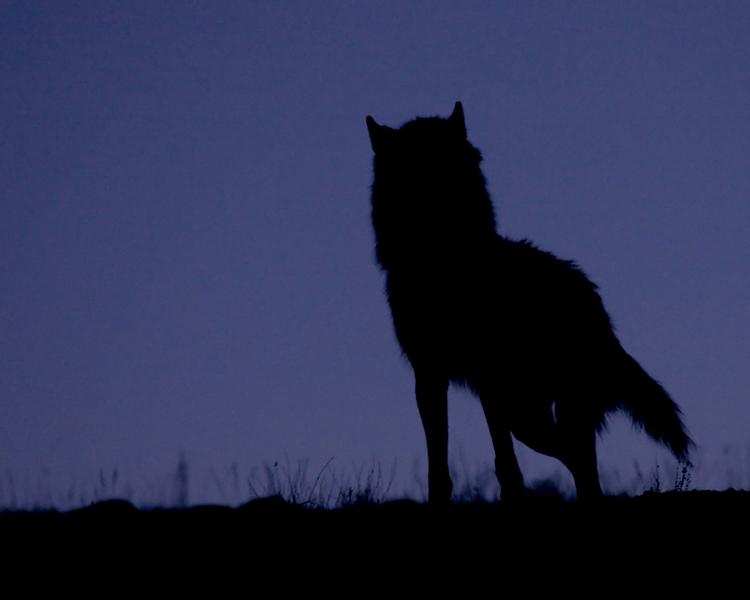 Wolf Silhouette.jpg