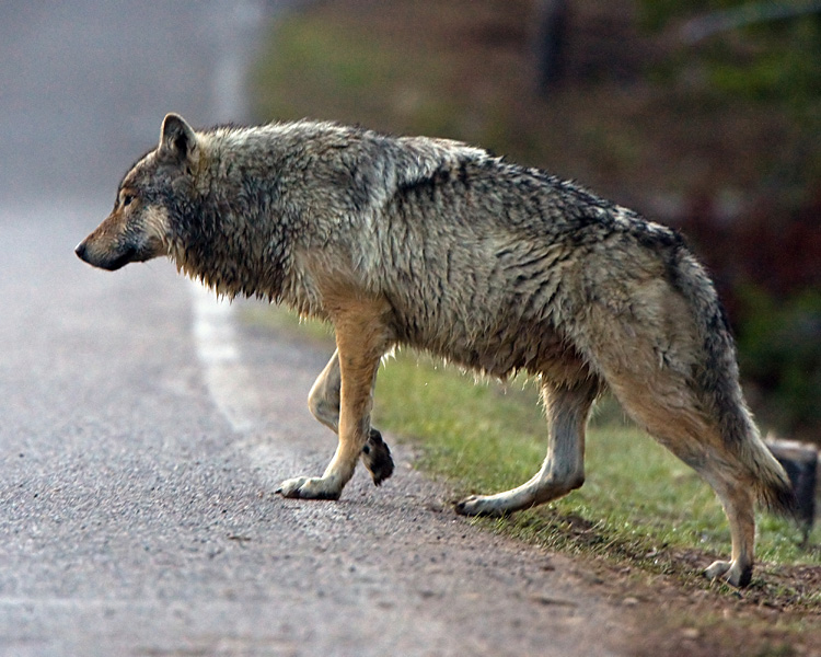 Wolf at Nymph Lake Crossing the Road.jpg
