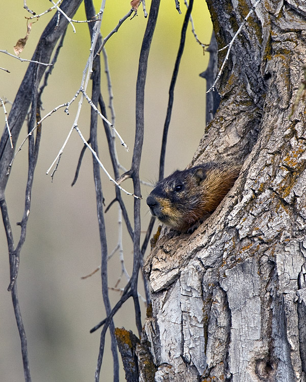 Marmot in a Tree Down the Pacific Creek Road.jpg
