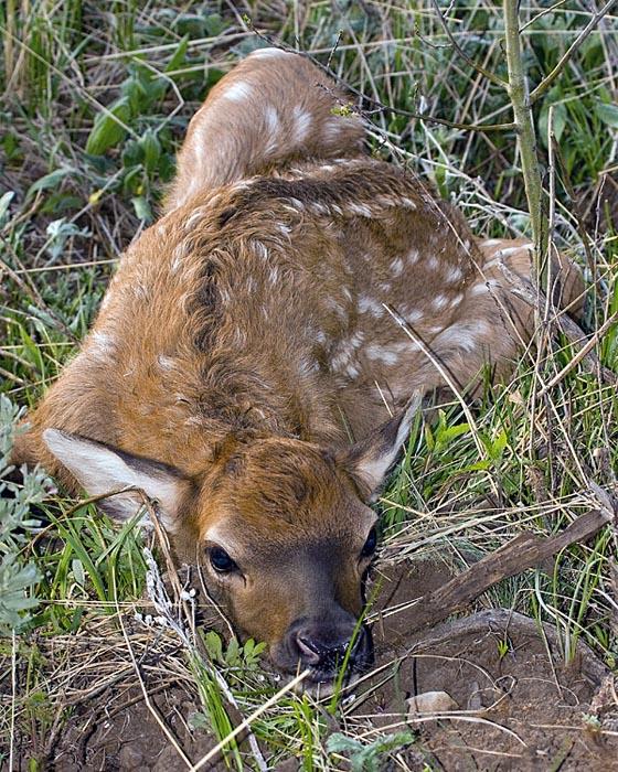 Elk Fawn on Pacific Creek Road.jpg